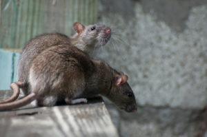 rodent control - rats