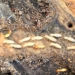 termite Treatment San Antonio