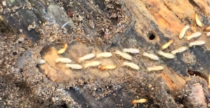 termite Treatment San Antonio
