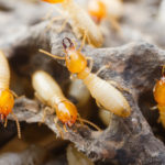 termite control san antonio