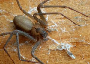 Spider control san antonio