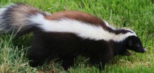 skunk control